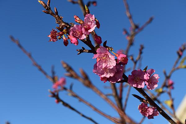 1月22日に撮影、下田でも河津桜見れます